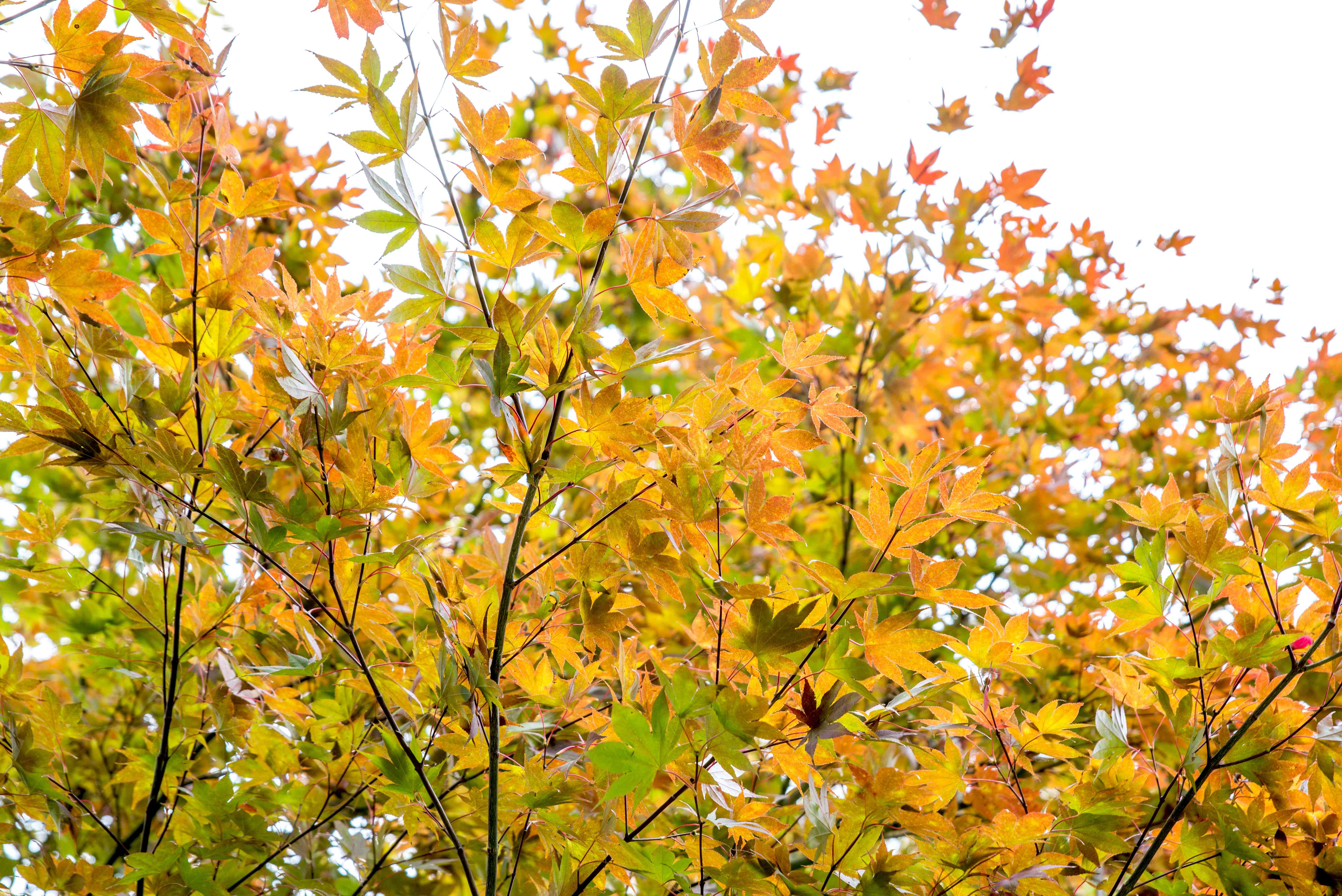 golden foliage on a Japanese maple