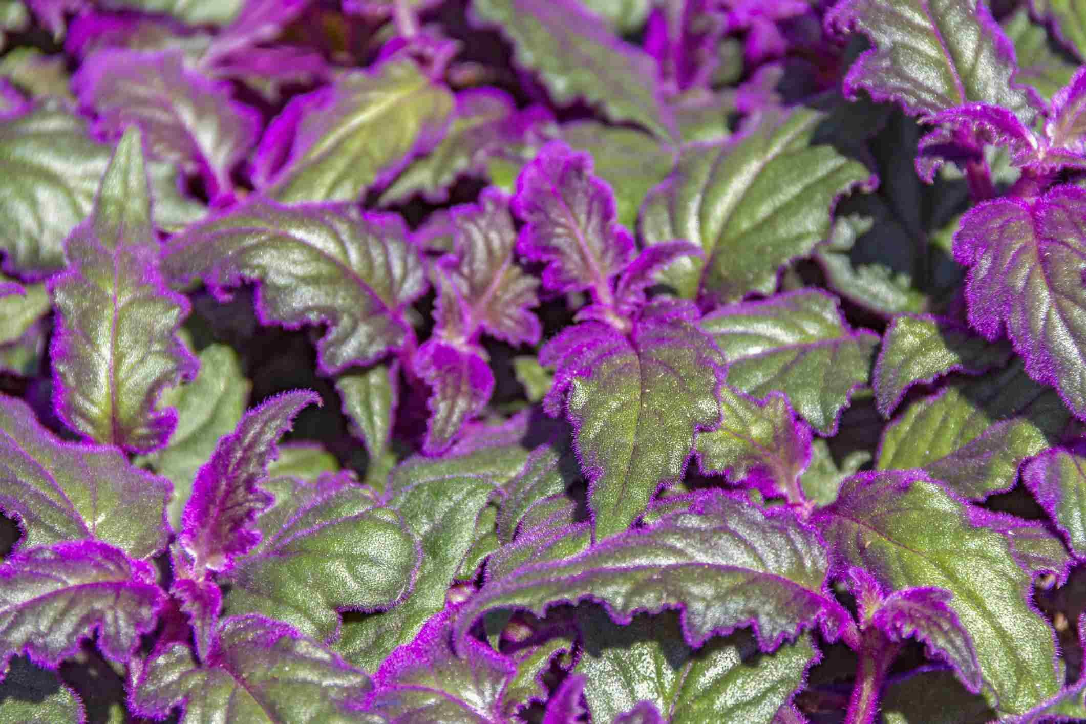Royal Velvet Plant