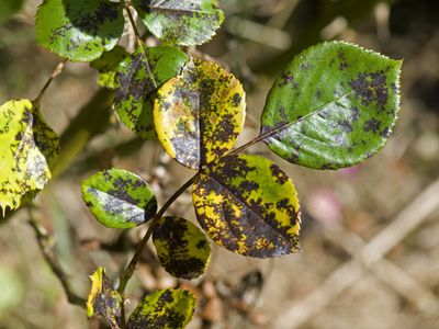 How to Deal With Basil Downy Mildew