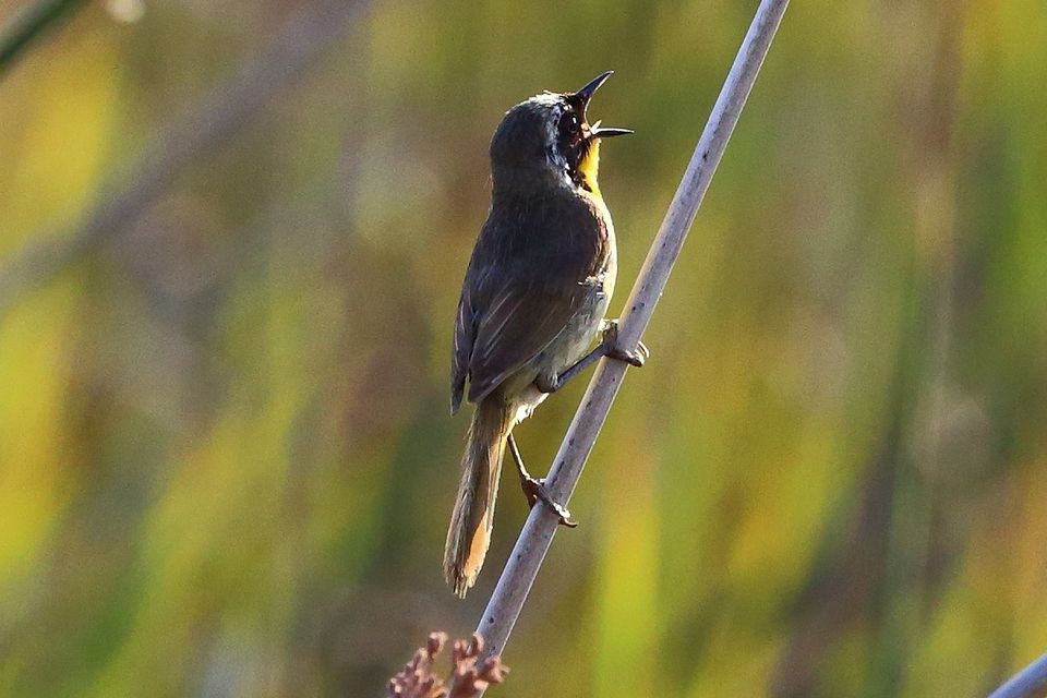Common Yellowthroat Singing at Sunrise
