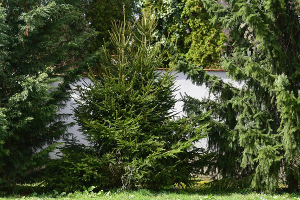Norway spruce tree in house garden between two other trees