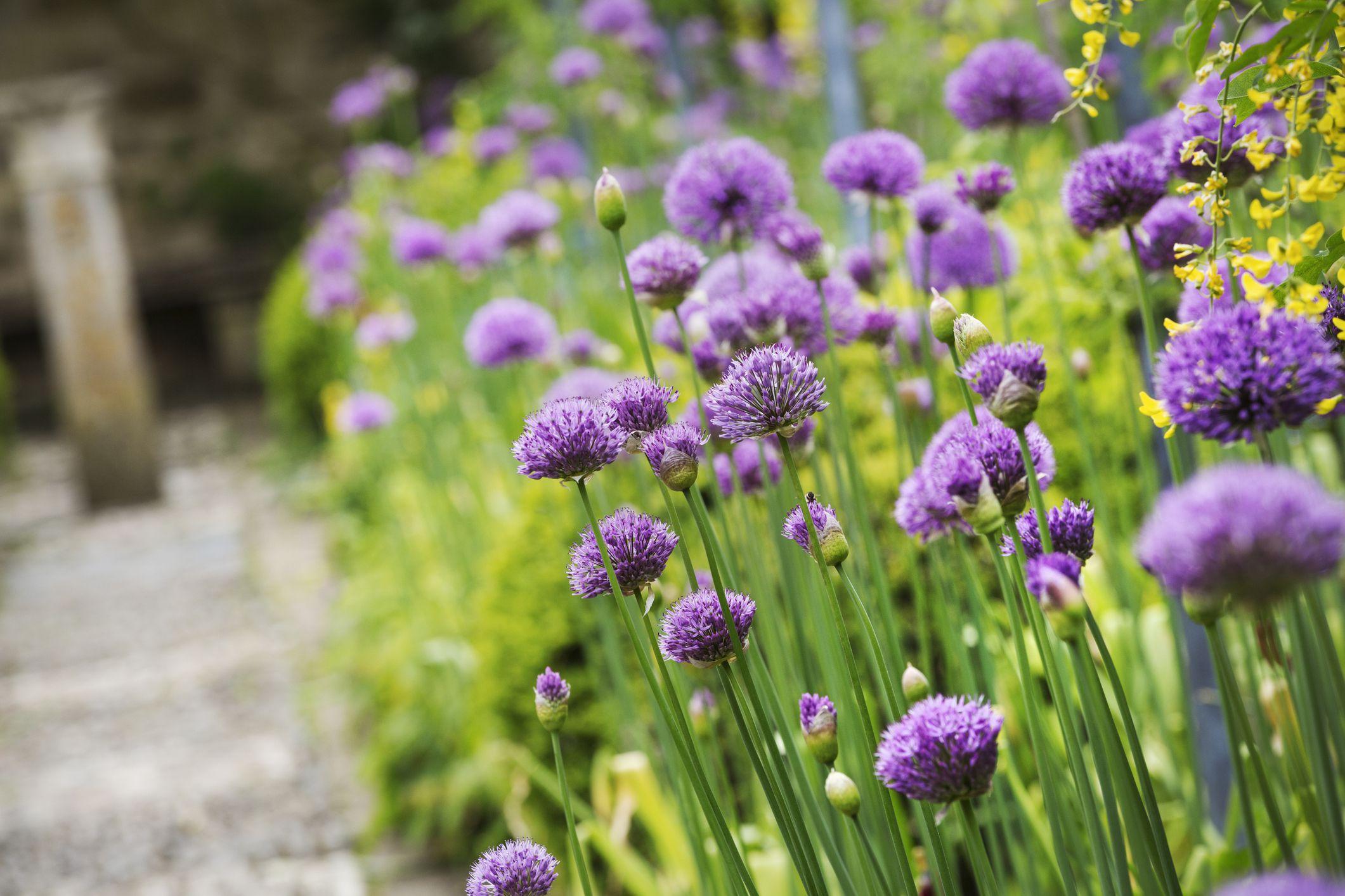 14 Great Landscape Plants With Purple Flowers
