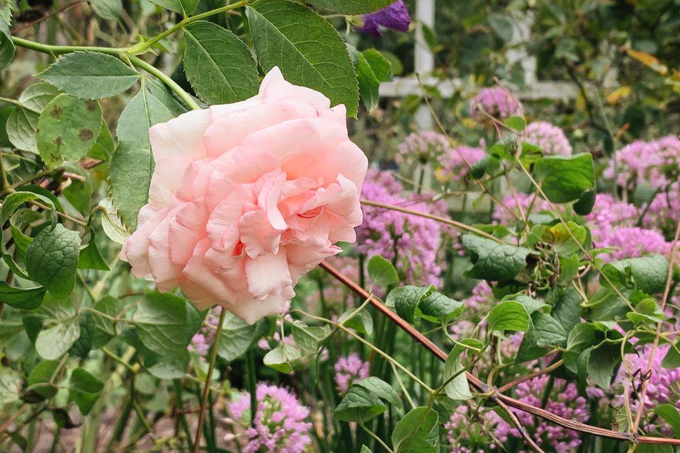 rose among companion plants