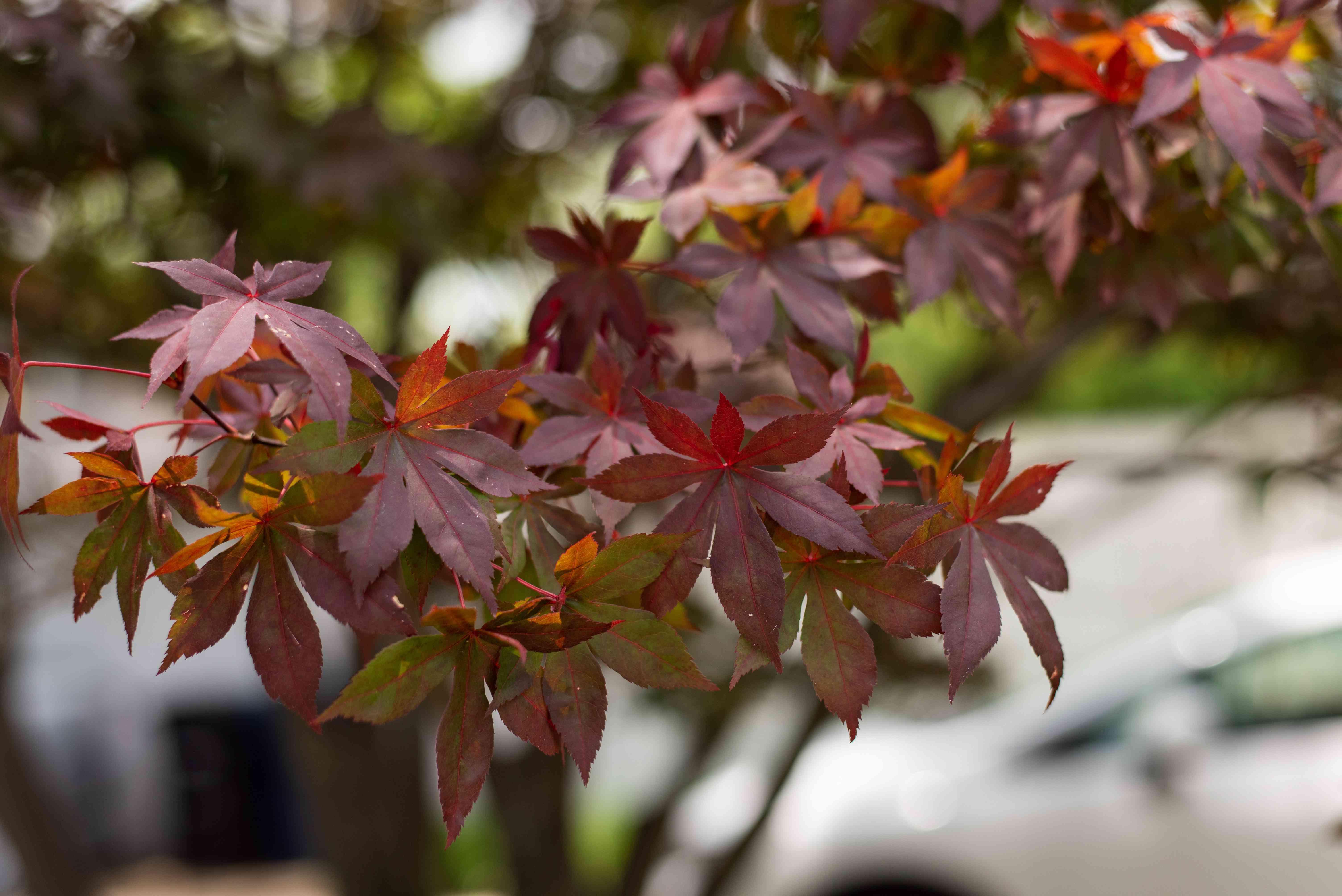Japanese maple 'Bloodgood' tree with reddish-purple leaves on branch
