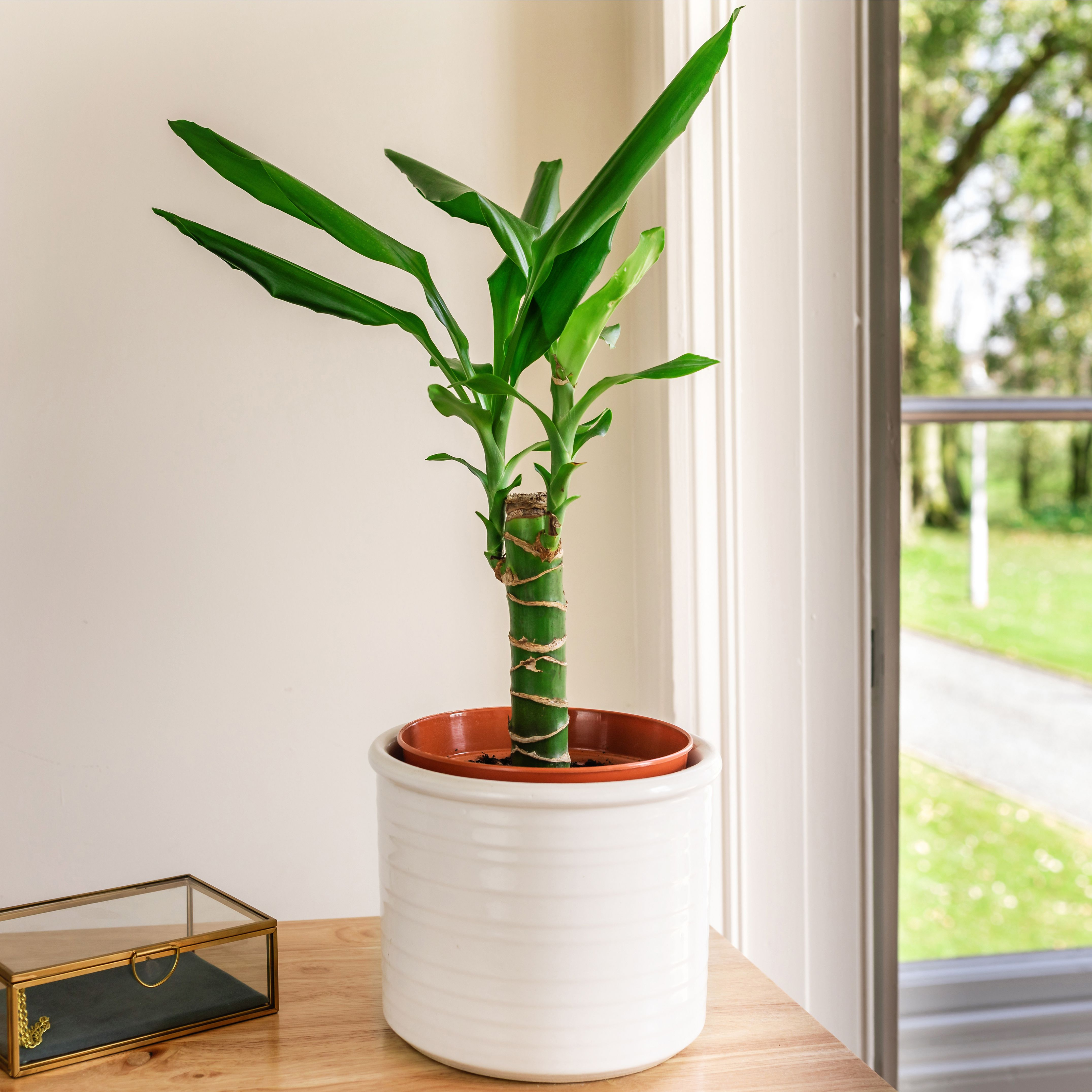 Corn Plant (Dracaena): Care & Growing Guide
