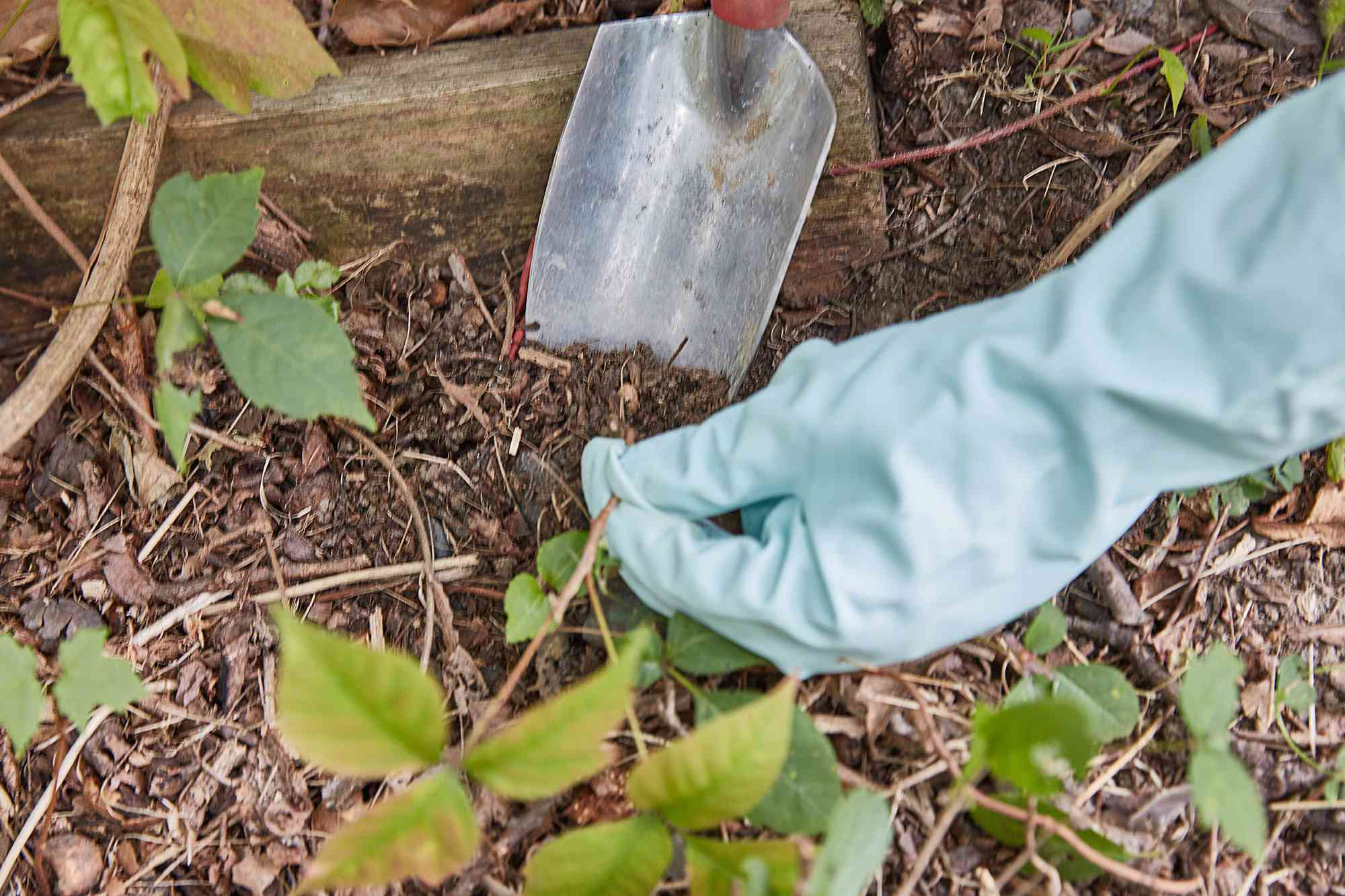 Handheld shovel digging out roots of poison ivy plants