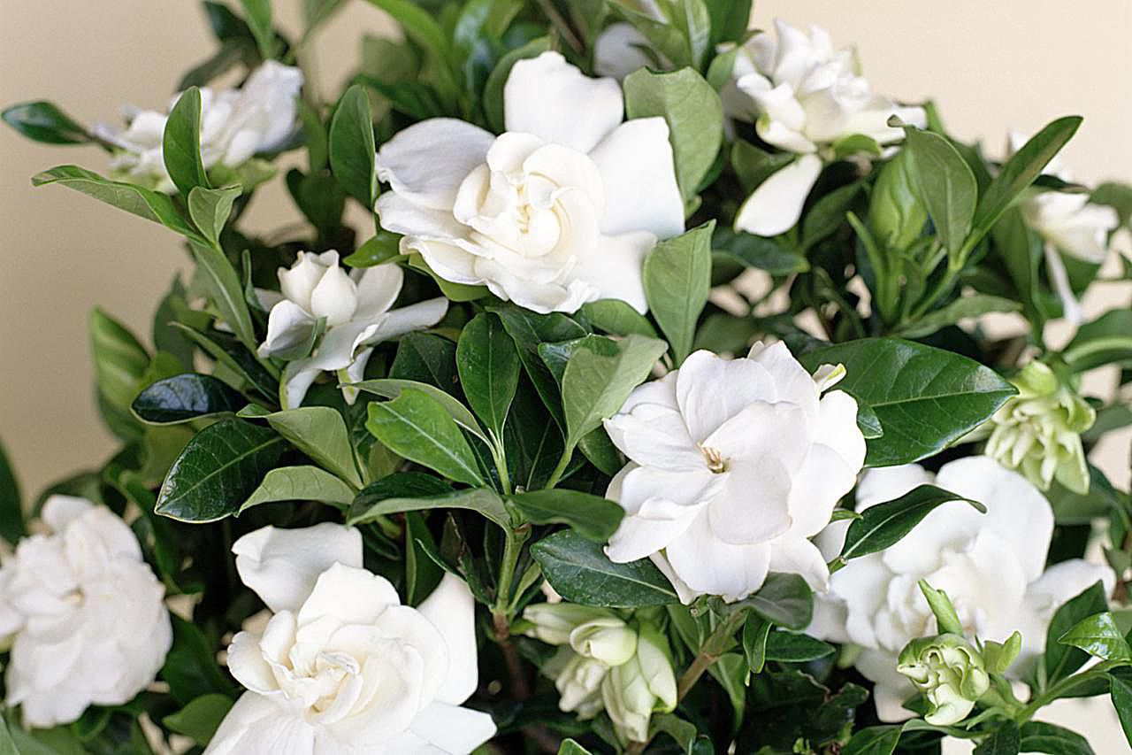 Potted gardenia with white blossoms