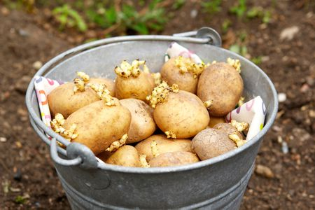 What Are Seed Potatoes and How Do You Plant Them?