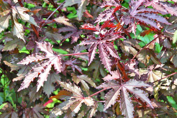 Hibiscus 'Panama Red'