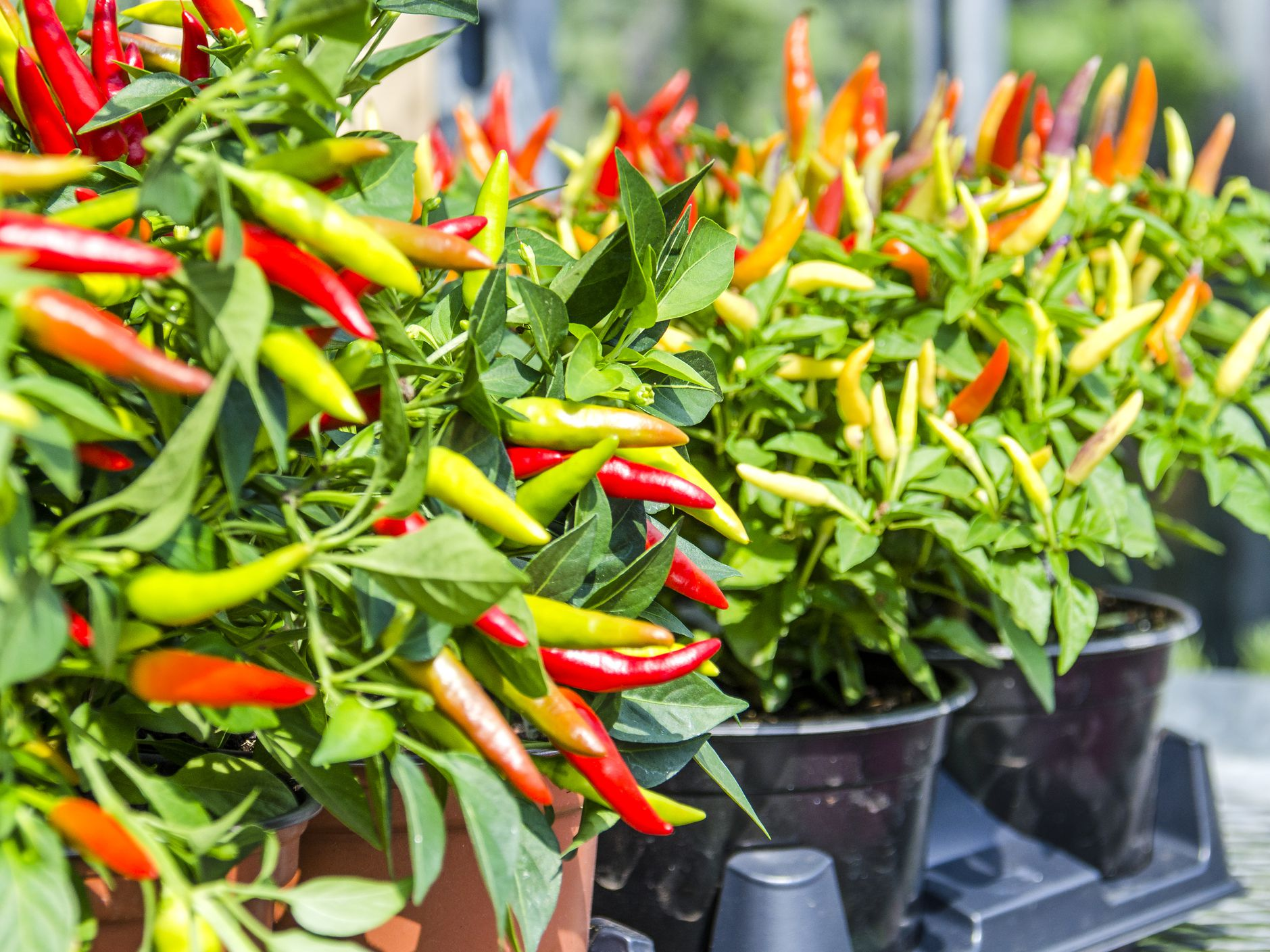 How to Grow Ornamental Peppers