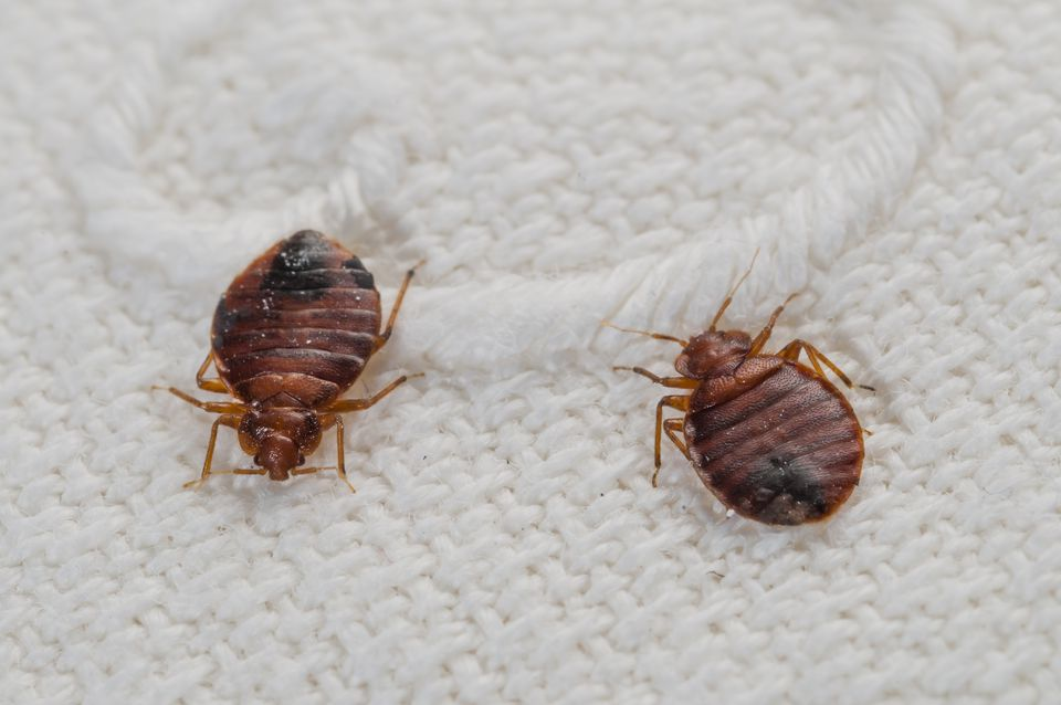 Bedbugs on a bed sheet