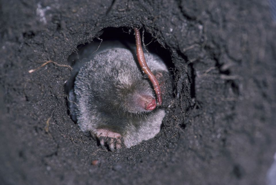 Mole control in lawn and garden tips id mole in a hole eating a worm solutioingenieria Images
