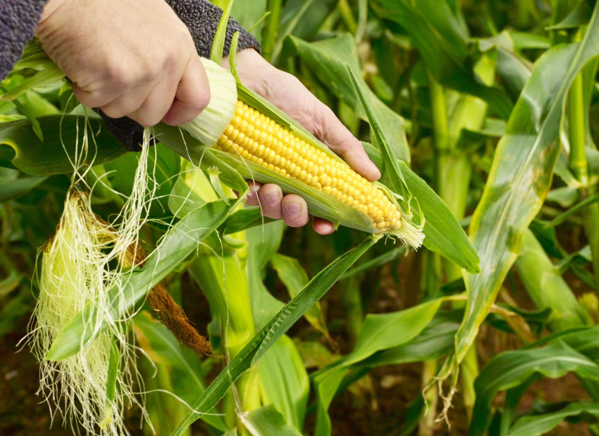 How To Grow And Care For Sweet Corn Plants