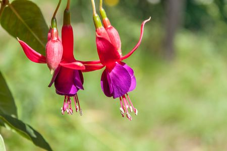 Fuchsia Is A Great Container Plant For Shade