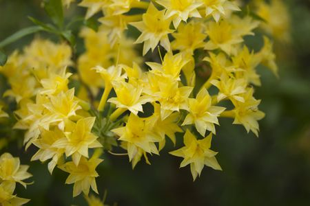 10 best shrubs with yellow flowers azalea shrubs with yellow flowers mightylinksfo