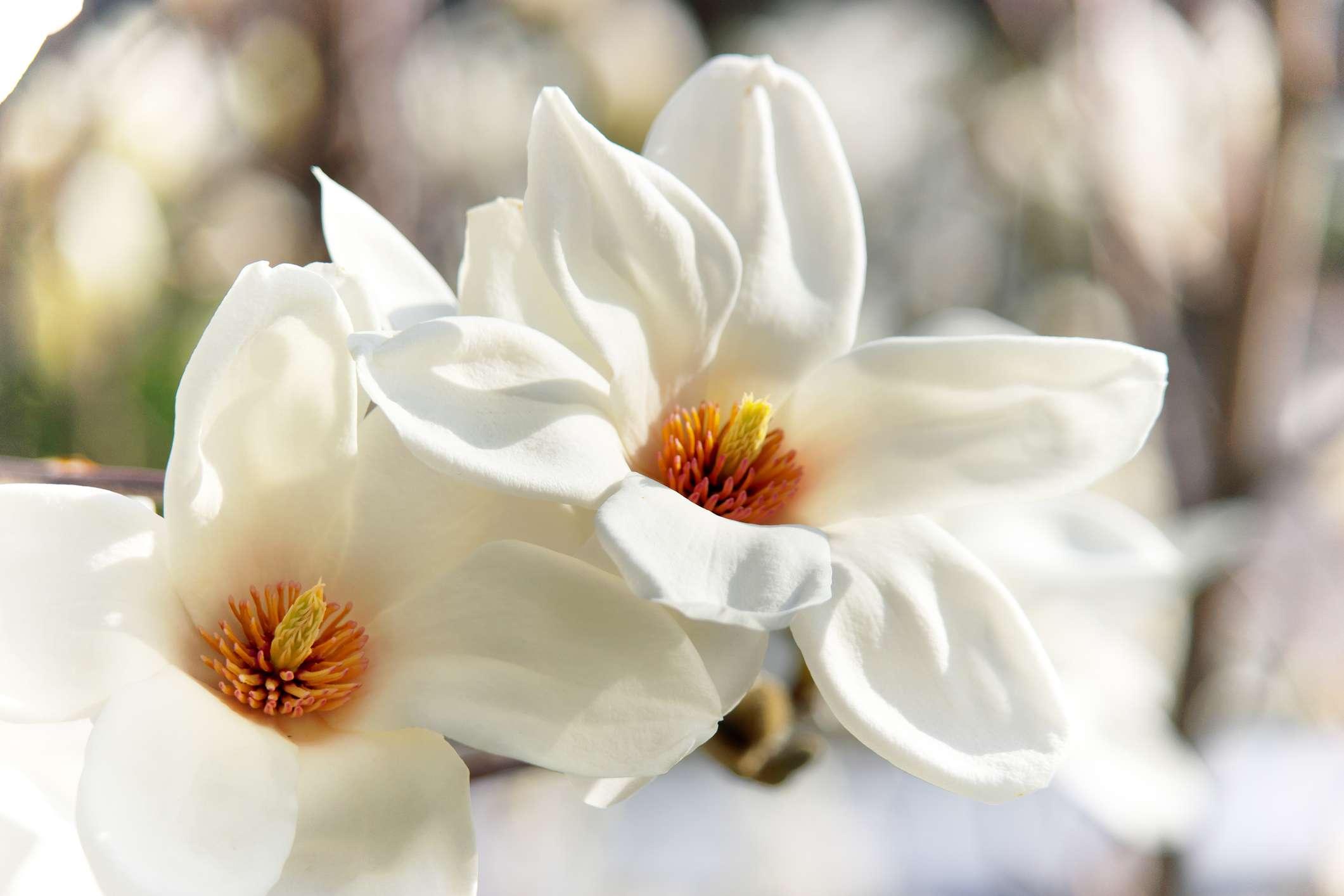 closeup showing reddish-orange seeds of the kobus magnolia