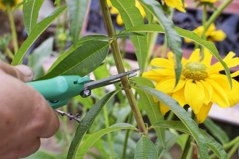Lemon verbena plant stem being cut with green pruning sheers