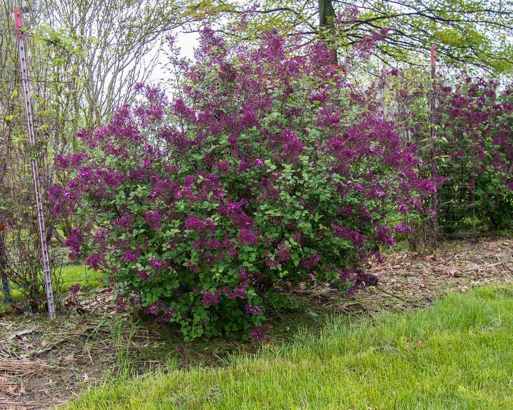 Bloomerang Dark Purple