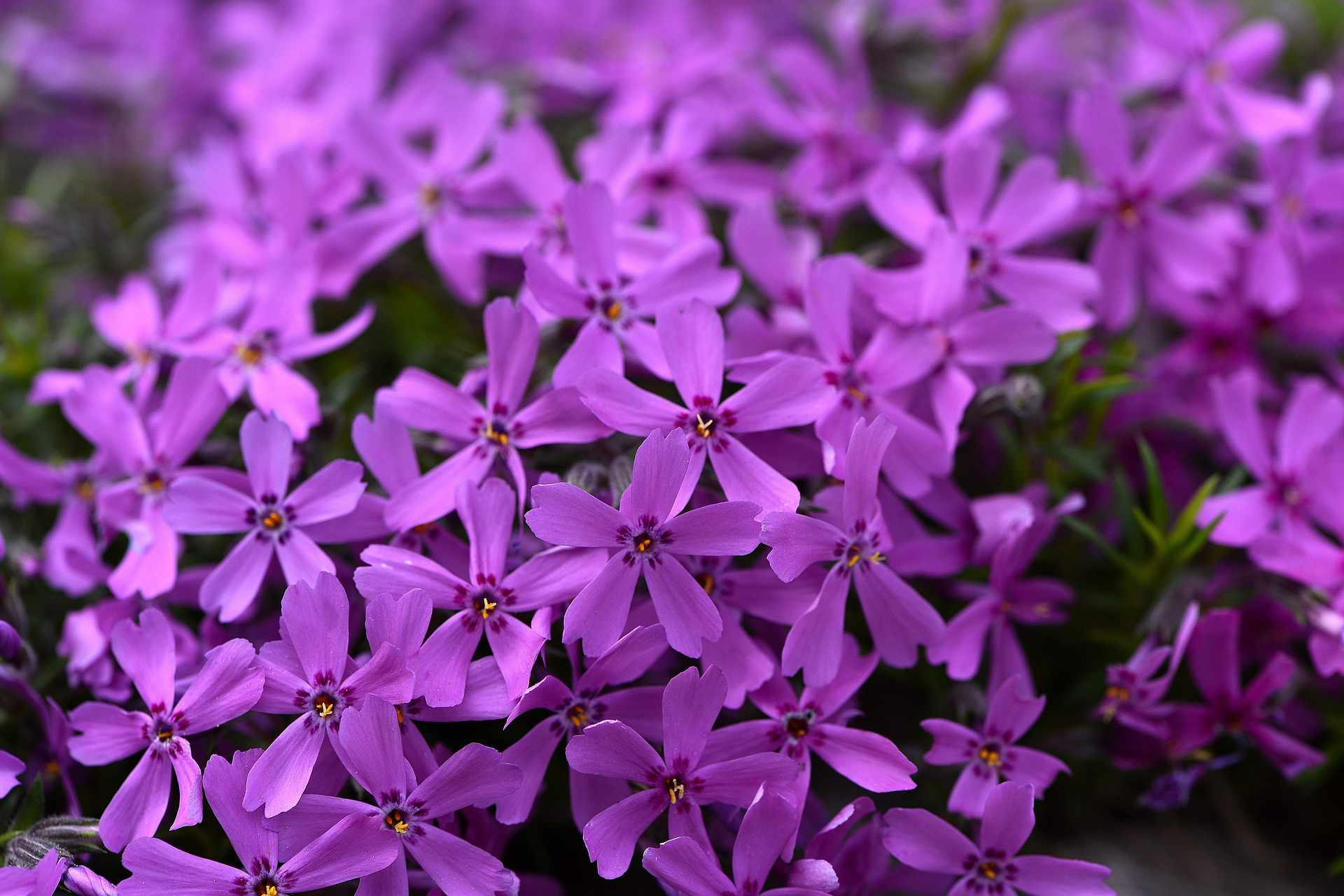 Phlox flowering ground cover