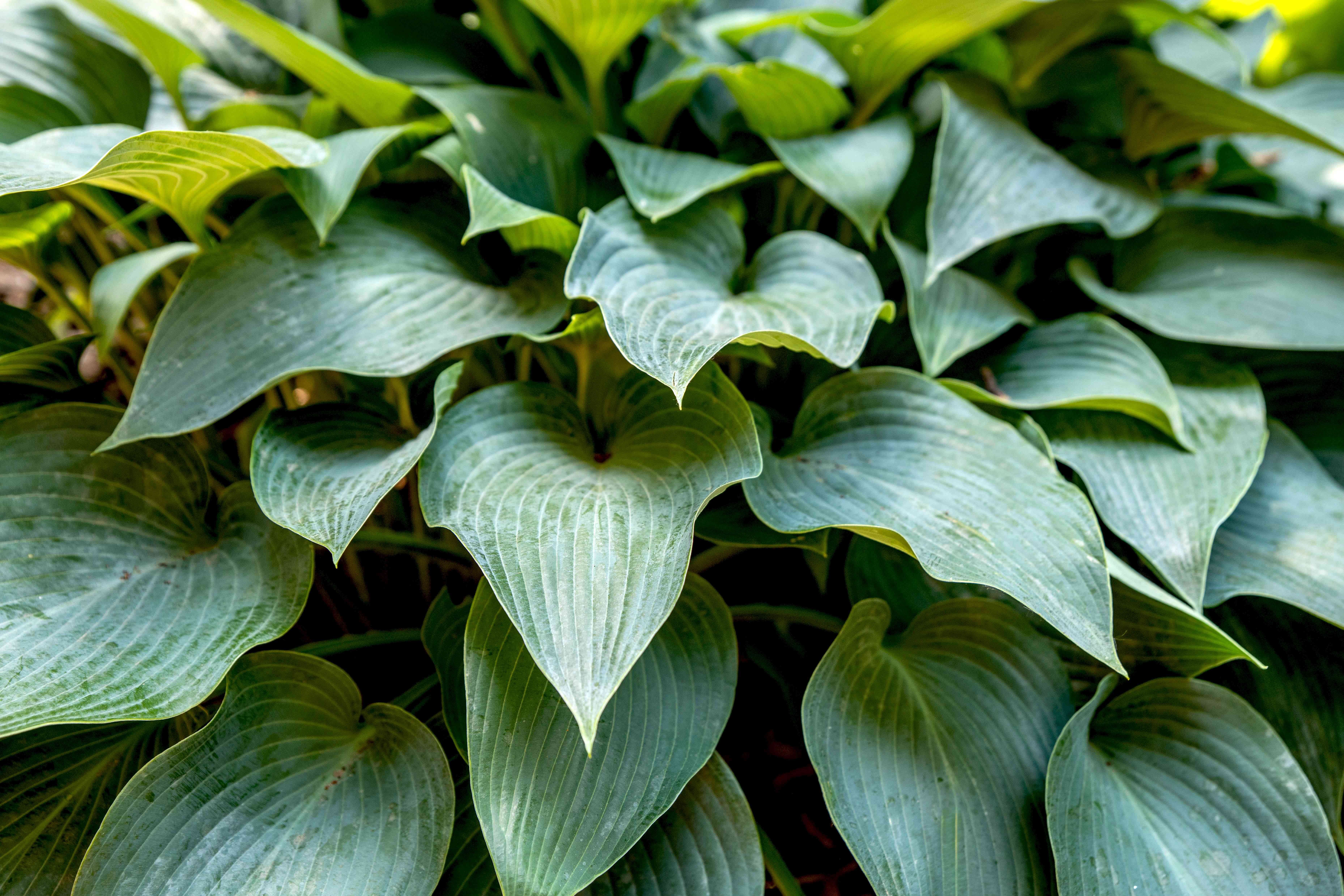 Hosta 'Halcyon' plant with blue-green textured leaves stacked on top closeup
