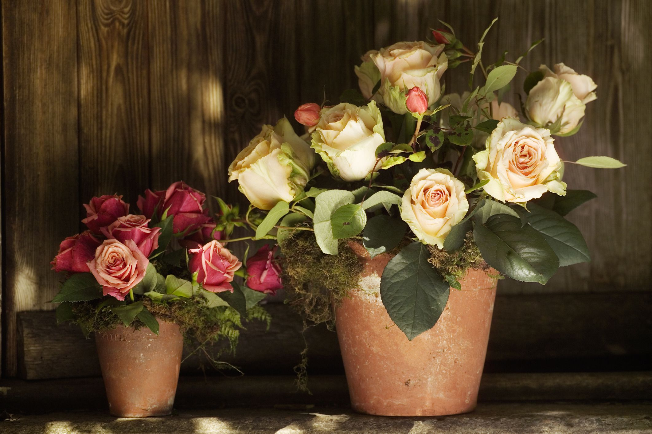 Grow And Care For Roses In Containers