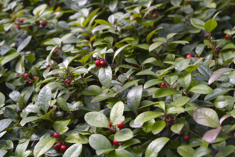 Wintergreen plant with small bright red berries in between leaves