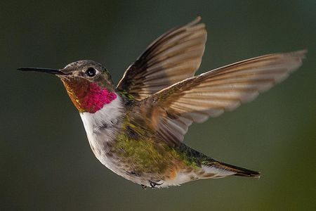 Sounds Hummingbirds Make