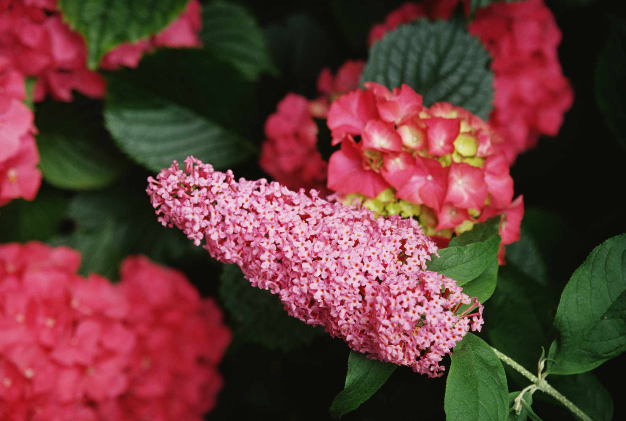 Pink butterfly bush surrounded by hydrangeas of a deeper pink color.