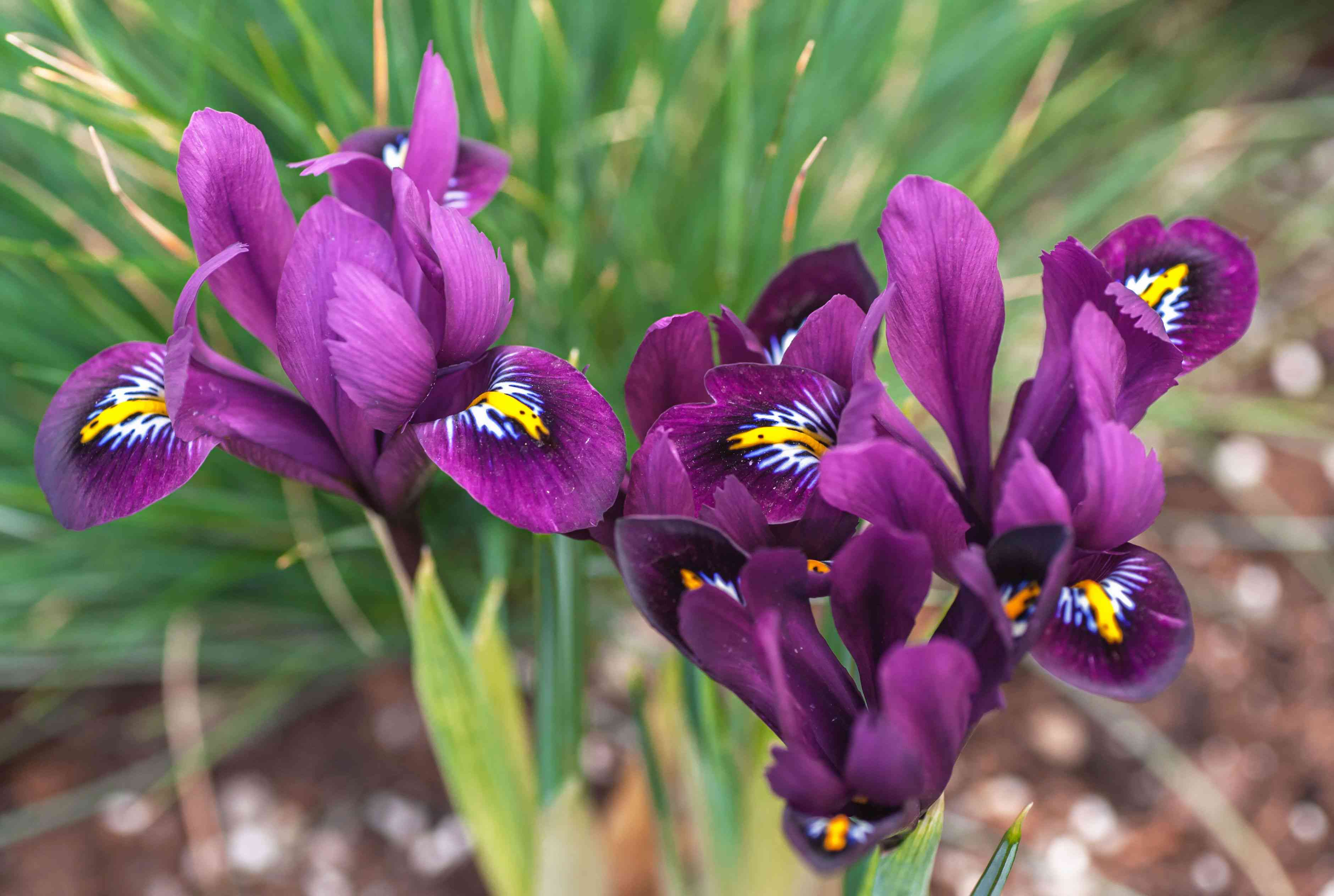 Iris plant with deep purple flowers with yellow, white and black inner petals