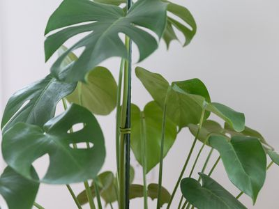 monstera houseplant with a support stake