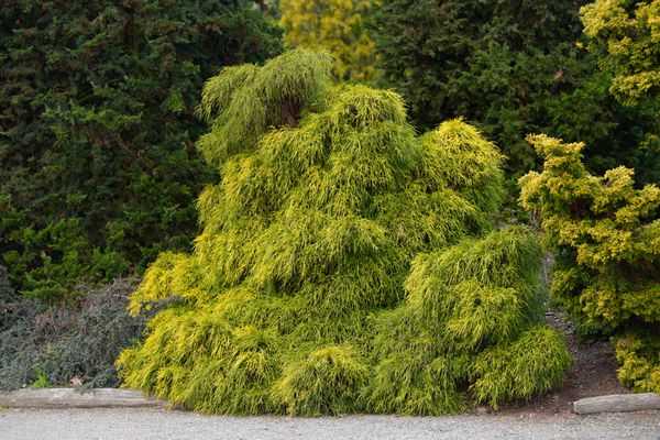 Threadleaf false cypress shrub with yellow-green leaves on edge of pathway