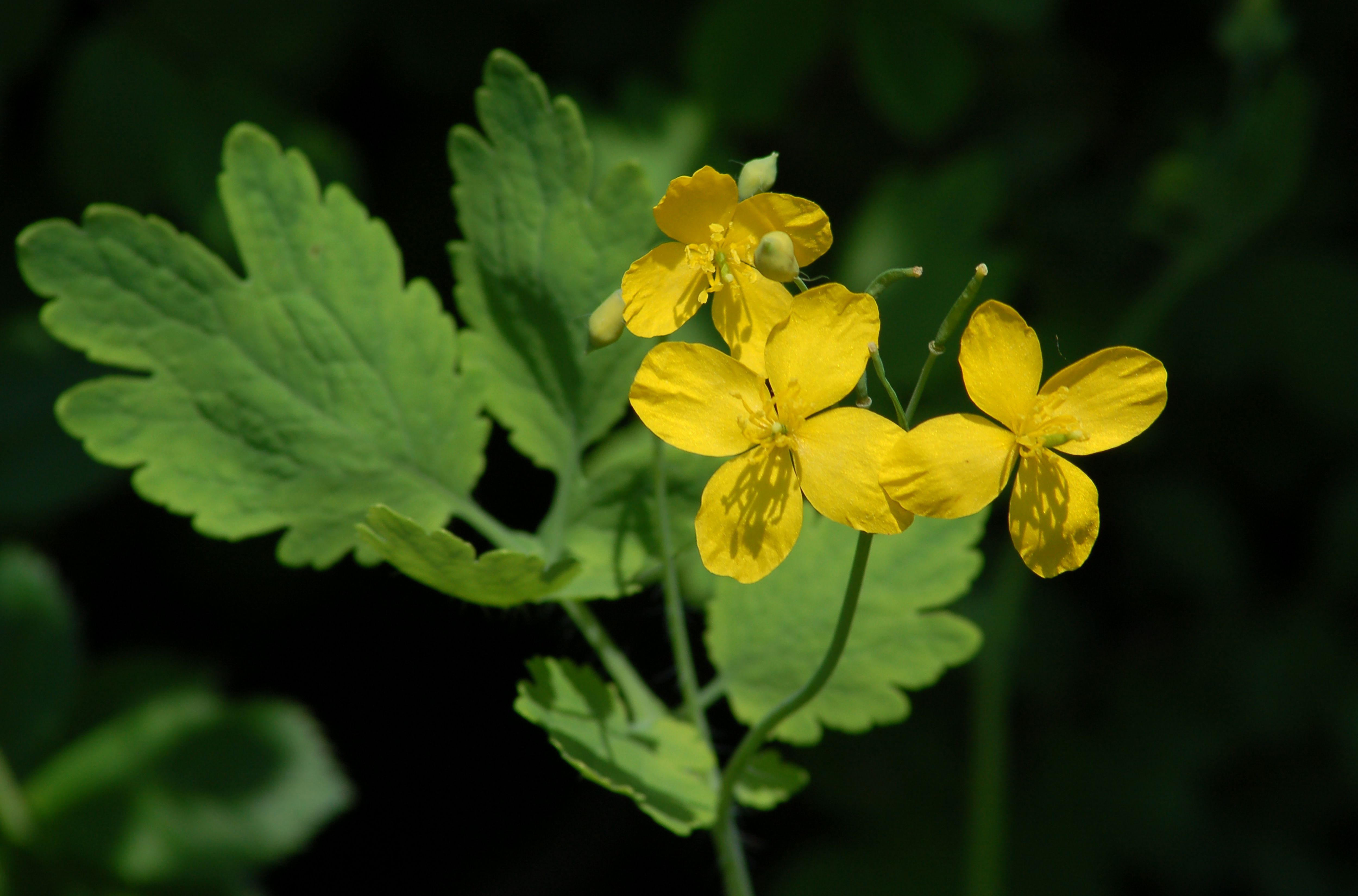Greater celandine plant with yellow blooms