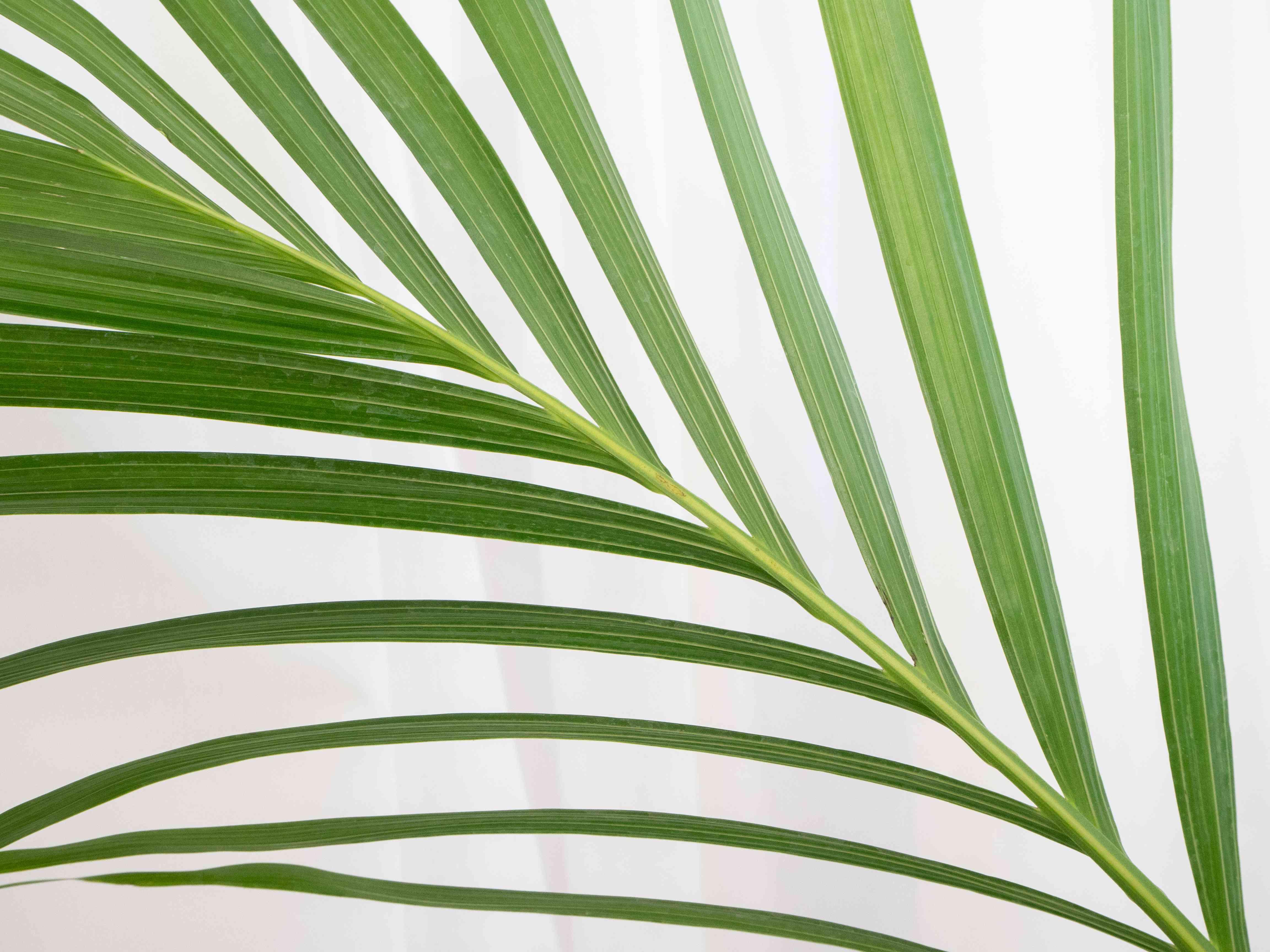 closeup of an areca palm leaf