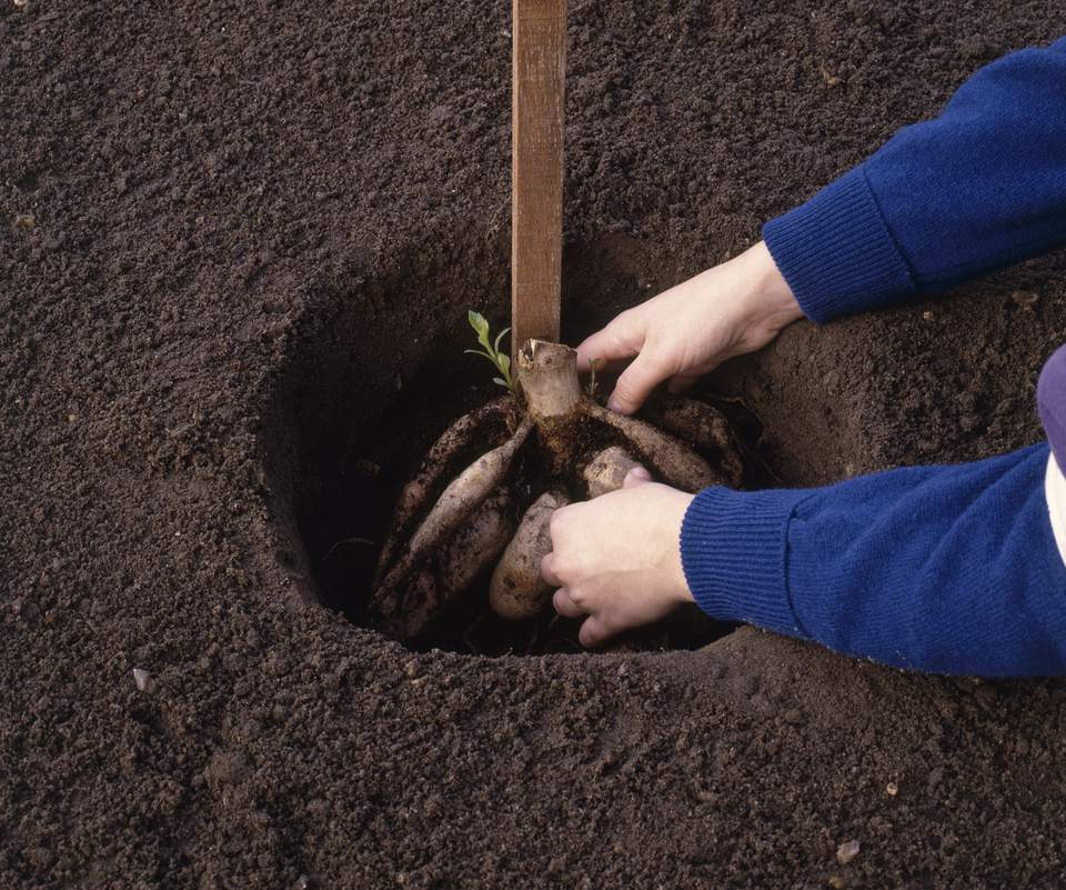 Placing Dahlia tuber into hole containing a stake for support, close-up