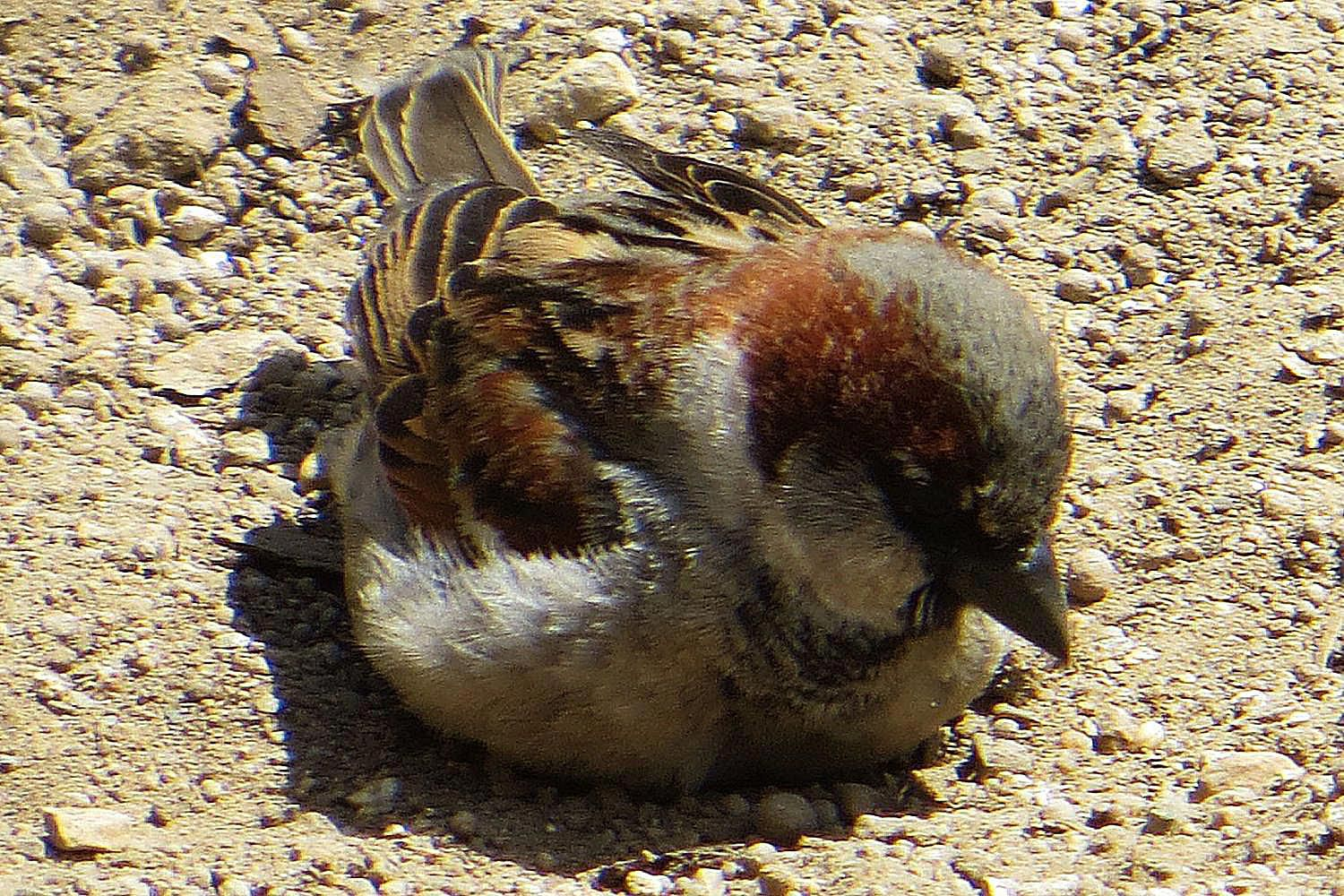 How And Why Birds Take Dust Baths