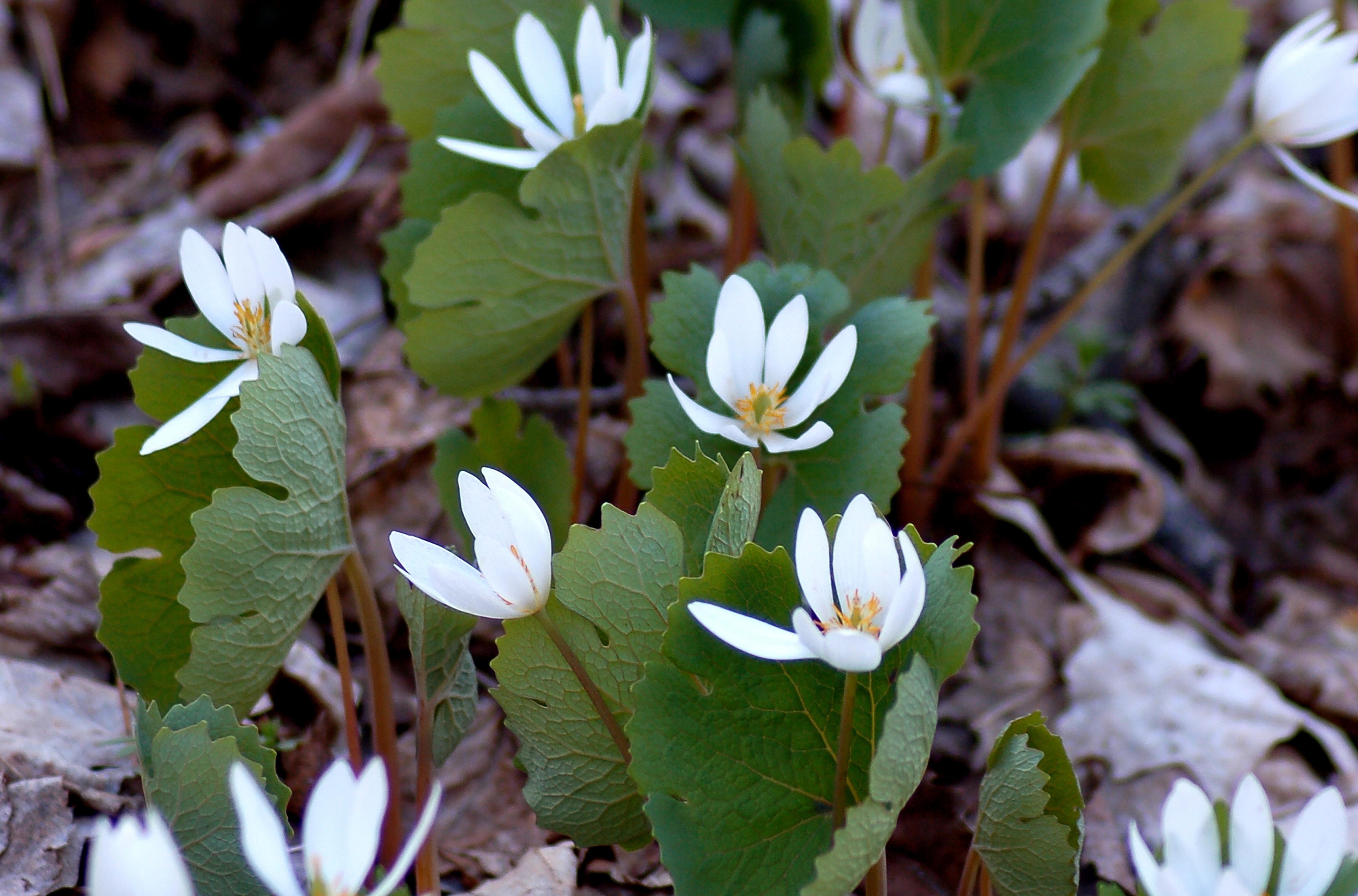 Bloodroot Plants Flowers For Native Plant Gardens