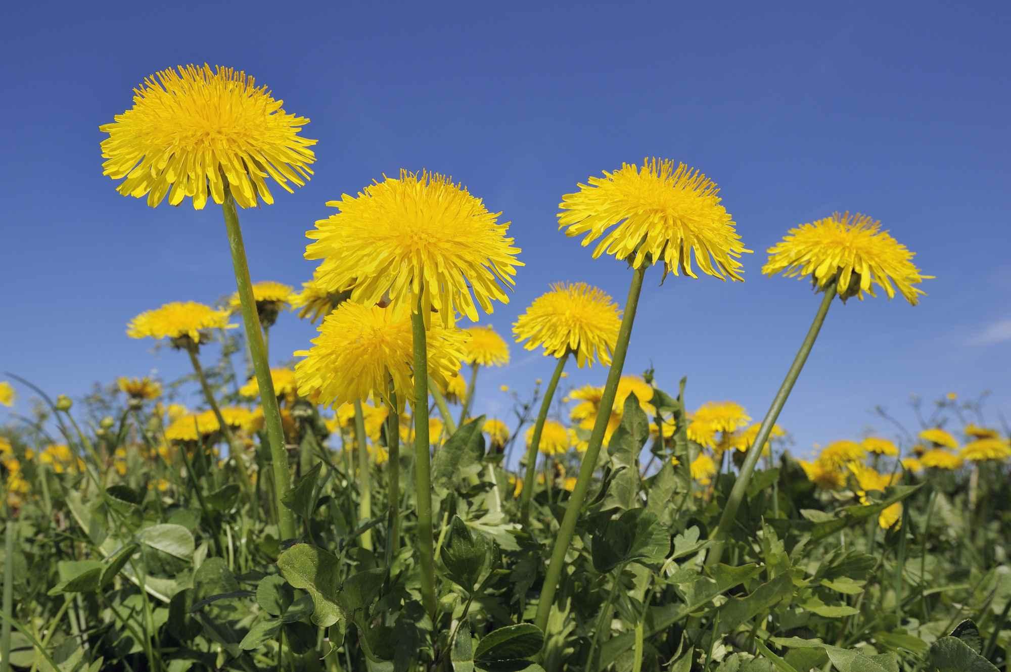 Dandelion (Taraxacum officinale) meadow