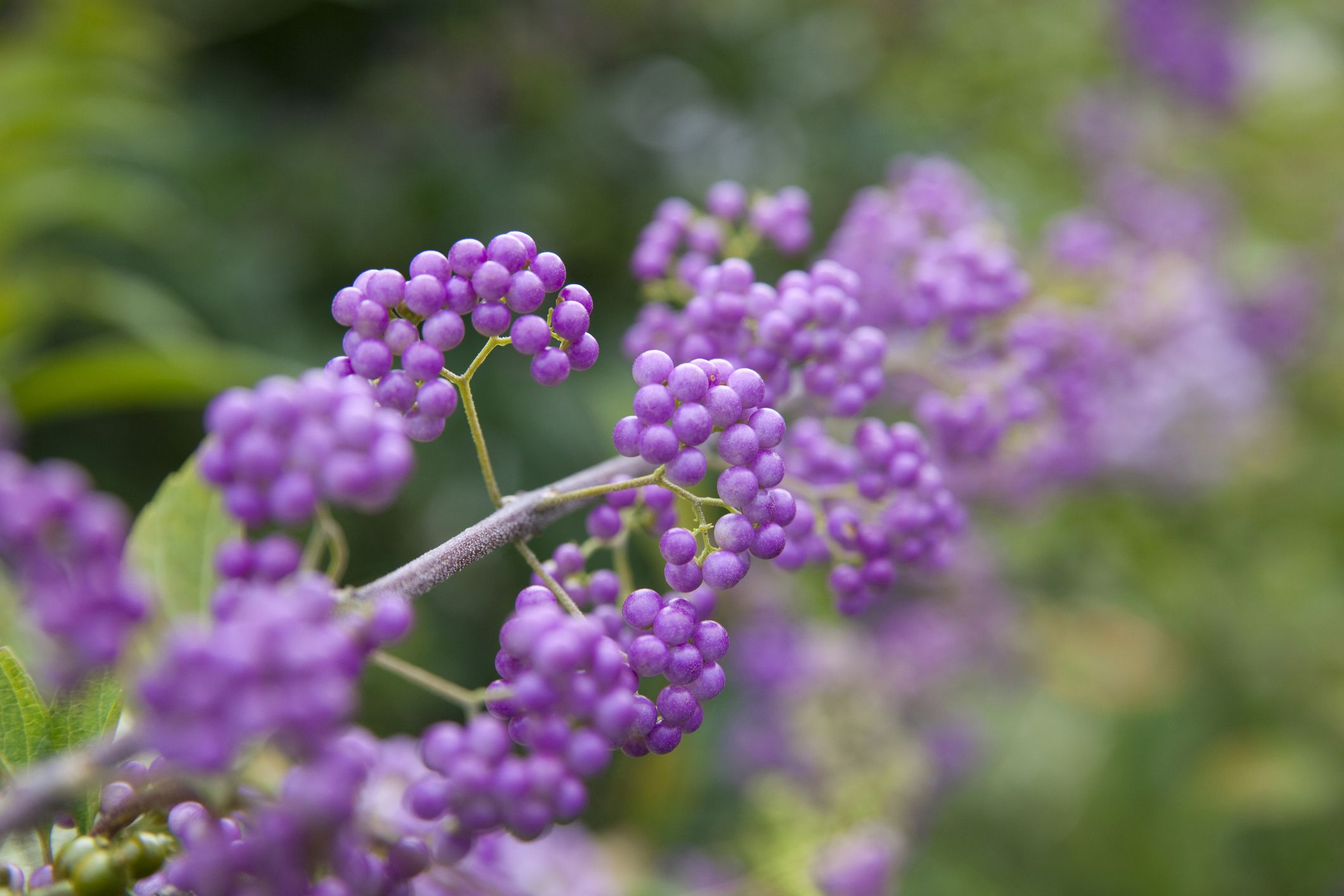 How To Grow And Care For Purple Beautyberry Shrubs