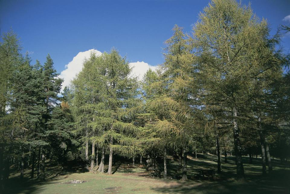 European Larch trees on a landscape