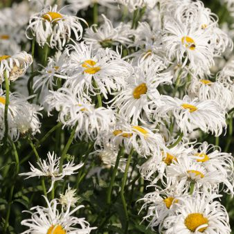 Shasta Daisies with frilly white petals and yellow centers