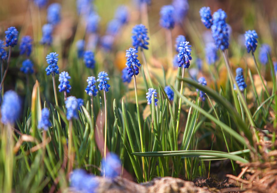 Blue grape hyacinth flowers growing from dirt ground