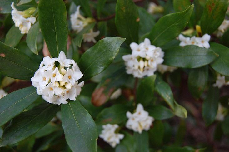 Tea Olive in bloom, white waxy blossoms and dark green glossy leaves