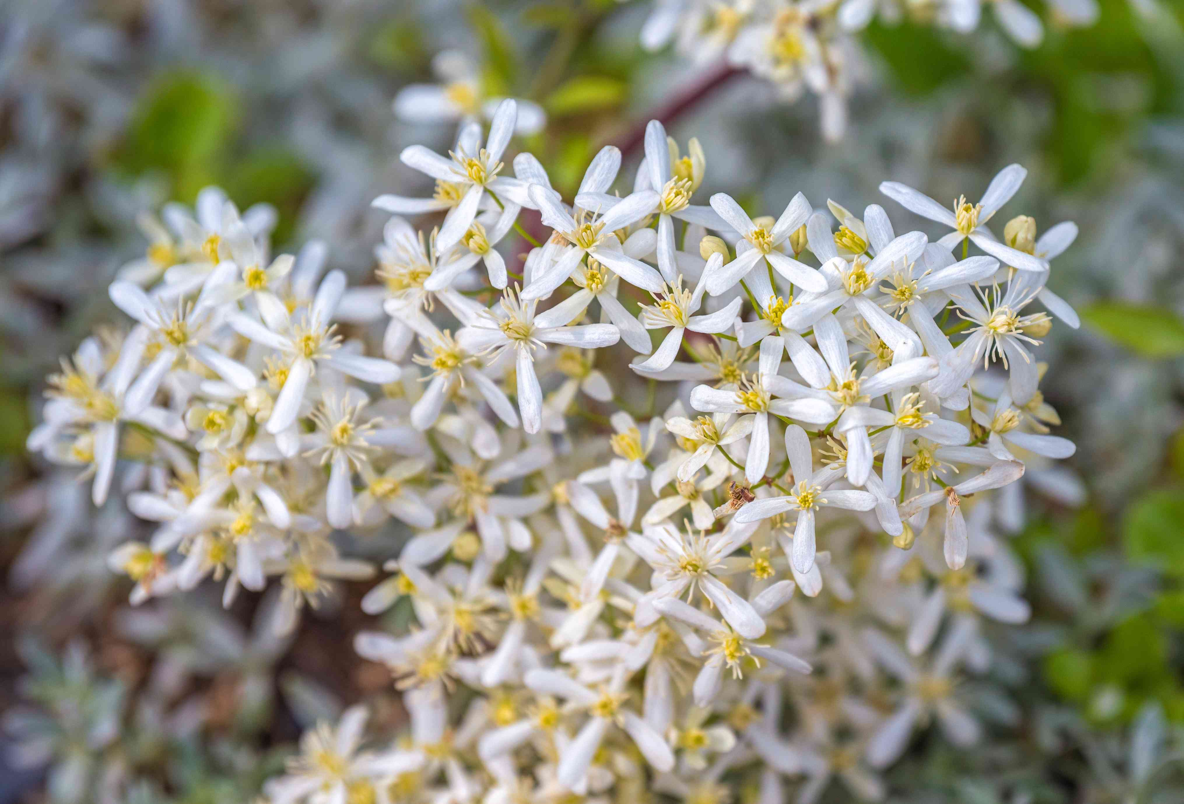 Swet autumn clemantis plant with tiny white flowers clustered together closeup