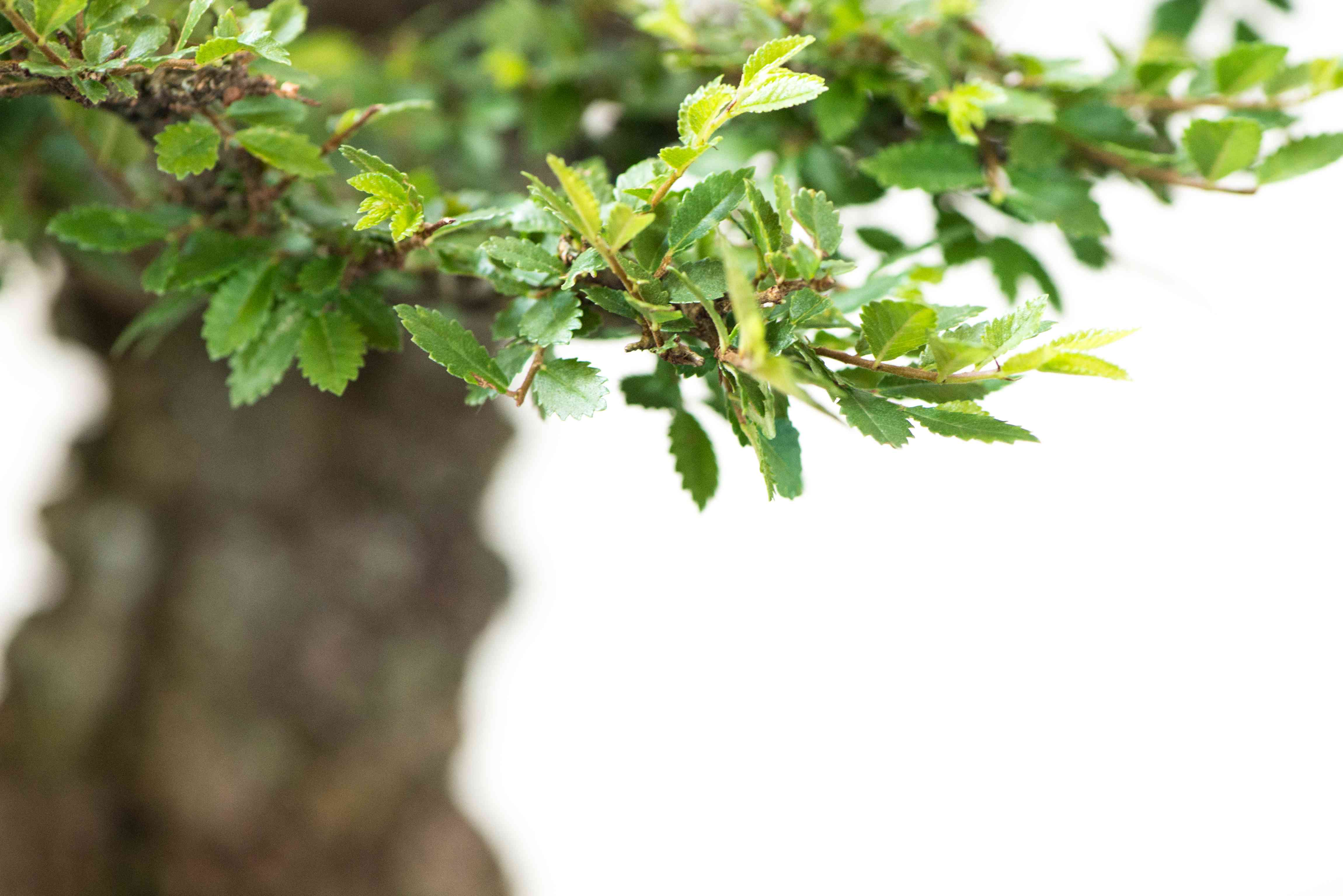 Green Chinese elm leaves