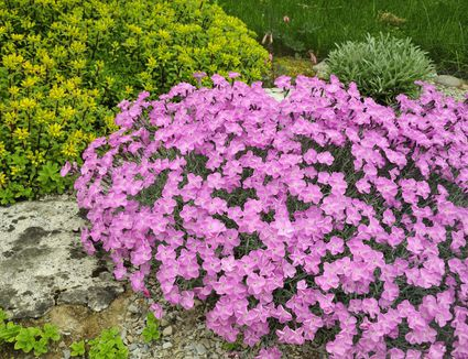 Perennial flowers that bloom all summer wondering what to grow in your rock garden mightylinksfo