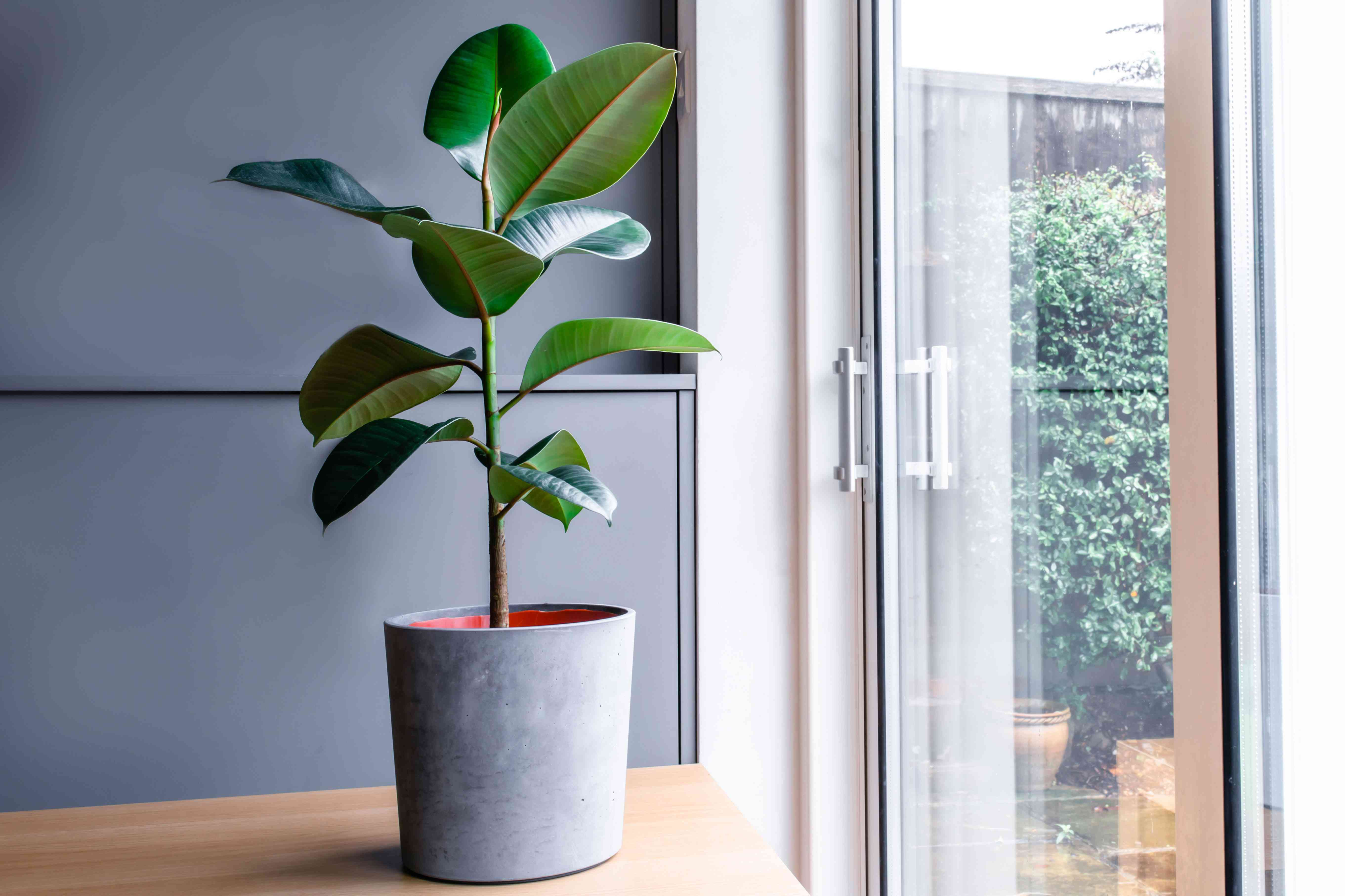 a rubber tree next to the patio door