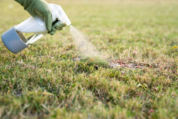 person spraying dish soap solution on moss