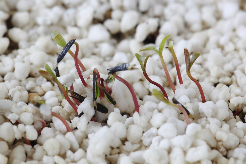 French marigold seedlings growing through a layer of perlite