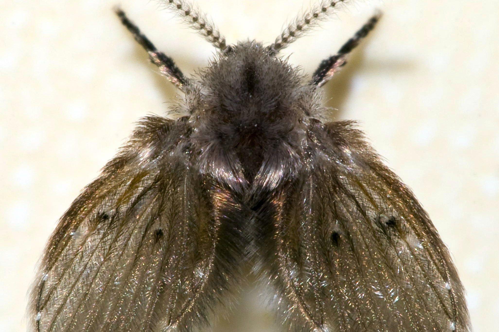 Get Rid Of Drain Flies Indoors Or Outside