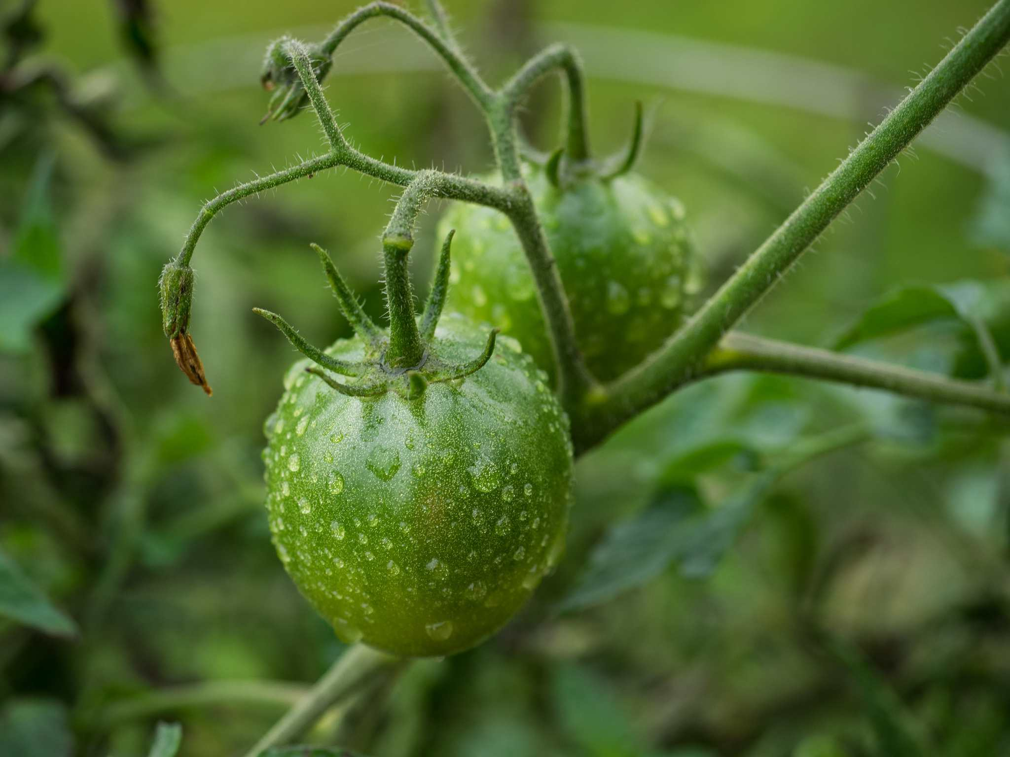 A black prince tomato